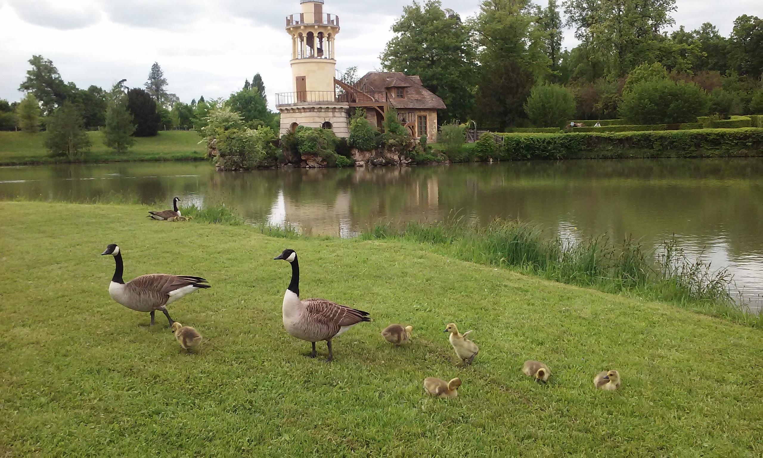Marie Antoinette's English Hamlet at the Palace of Versailles. A picture of geese.